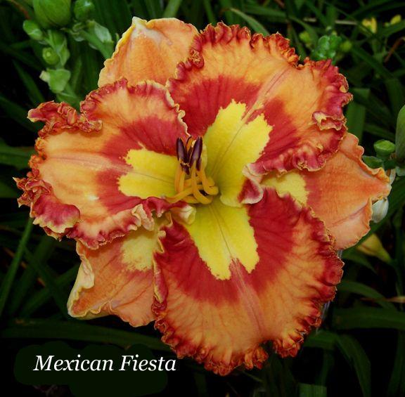 Daylily, Hemerocallis 'Mexican Fiesta' (Maryott, 2014)