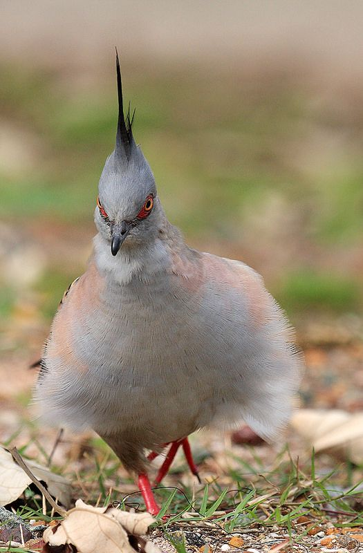 Crested Pigeon | by theplainswanderer
