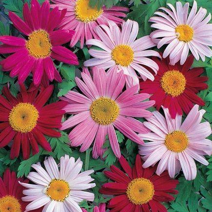 Robinson's Mixture Pyrethrum (Painted Daisy), Chrysantheum coccineum - https://www.terramatergardens.com/product/robinsons-mixture-pyrethrum-painted-daisy-chrysantheum-coccineum/