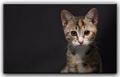 Кошка и ребенок в доме Многие владельцы своих очаровательных питомцев иногда паникуют из - за того, что в их семье намечается пополнение. Они начинают переживать и раздумывать, как поступить с их домашним животным? Как будет вести себя кошка, не будет ли она опасна для ребенка? ...  http://c.cpl1.ru/7kNM