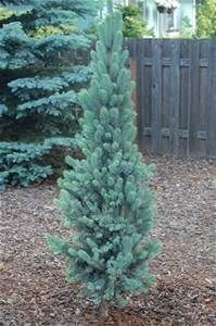 Best 25 evergreen landscape ideas on pinterest blue for Landscaping plants that stay small