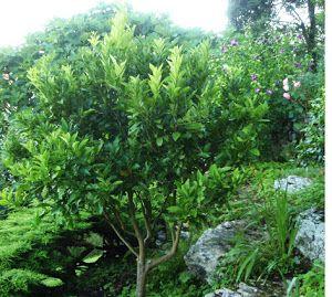 Cómo Podar Limoneros Naranjos Y Mandarinos Plantas Cultivo De Hortalizas Centro De Jardinería Arboles Para Jardin