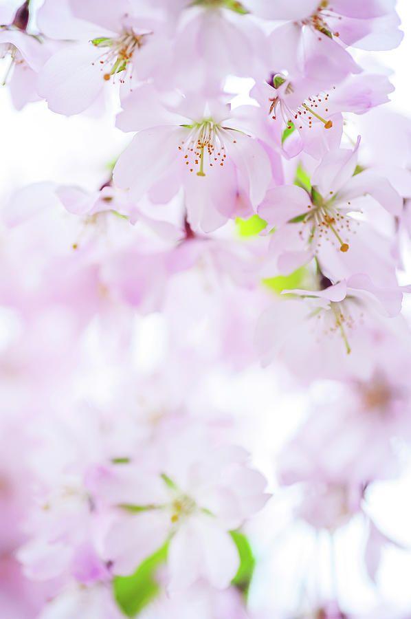 Sakura Bloom Romance. Spring Pastels Photograph by Jenny Rainbow