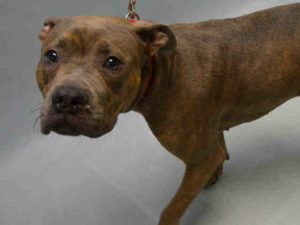 Super Urgent Brooklyn - KYLEE - #A1095638 - FEMALE BR BRINDLE AM PIT BULL TER MIX, 3 Yrs - STRAY - NO HOLD Reason STRAY - Intake 11/12/16 Due Out 11/15/16 - FEARFUL, SUBMISSIVE, ALLOWED ALL HANDLING, L HIND LEG NON-WEIGHT BEARING, VOMITED