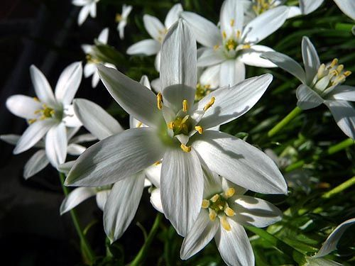 Star of Bethlehem Flower - Pictures, Ornithogalum umbellatum
