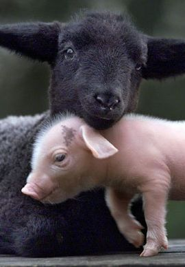 Lamb & a pig. What a great post! We just absolutely love animals. Whether it's a dog, cat, bird, horse, fish, or anything else, animals are awesome! Don't you agree? -- courtesy of www.canoodlepets.com