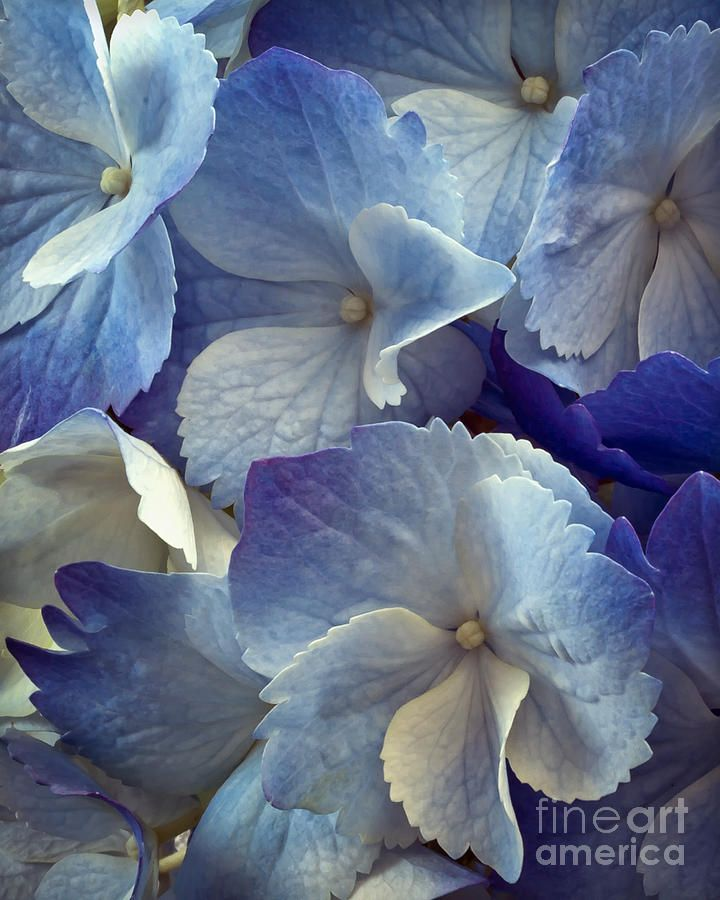 ✯ Blue Hydrangea