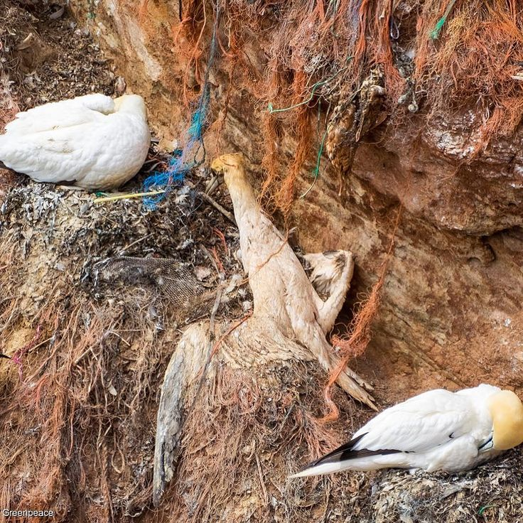 """Greenpeace Australia Pacific celebrated our 40th anniversary yesterday. That's 40 years of taking action against national and global environmental issues. Thank you to our passionate supporters and activists who make this all happen.  Join the movement link in the bio!  PICTURED: Gannets (northern gannet Morus bassanus) on the """"Lummenfelsen"""" on Heligoland. The birds use plastic waste and parts of fishery nets (Dolly ropes) to build their nests on the rock. Many birds die in the ropes by…"""
