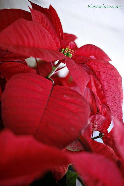 Poinsettia Plants | poinsettia flower delivery usa , Poinsettia Flowers