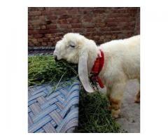 Pure Kajla Sheep Lamb for sale in good hands