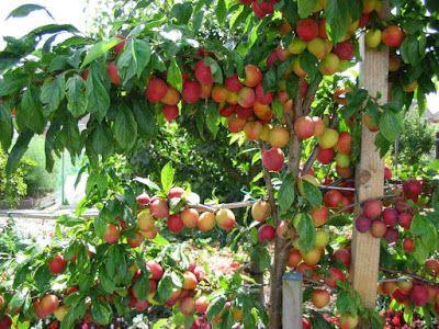 Fruit Trees in a Garden