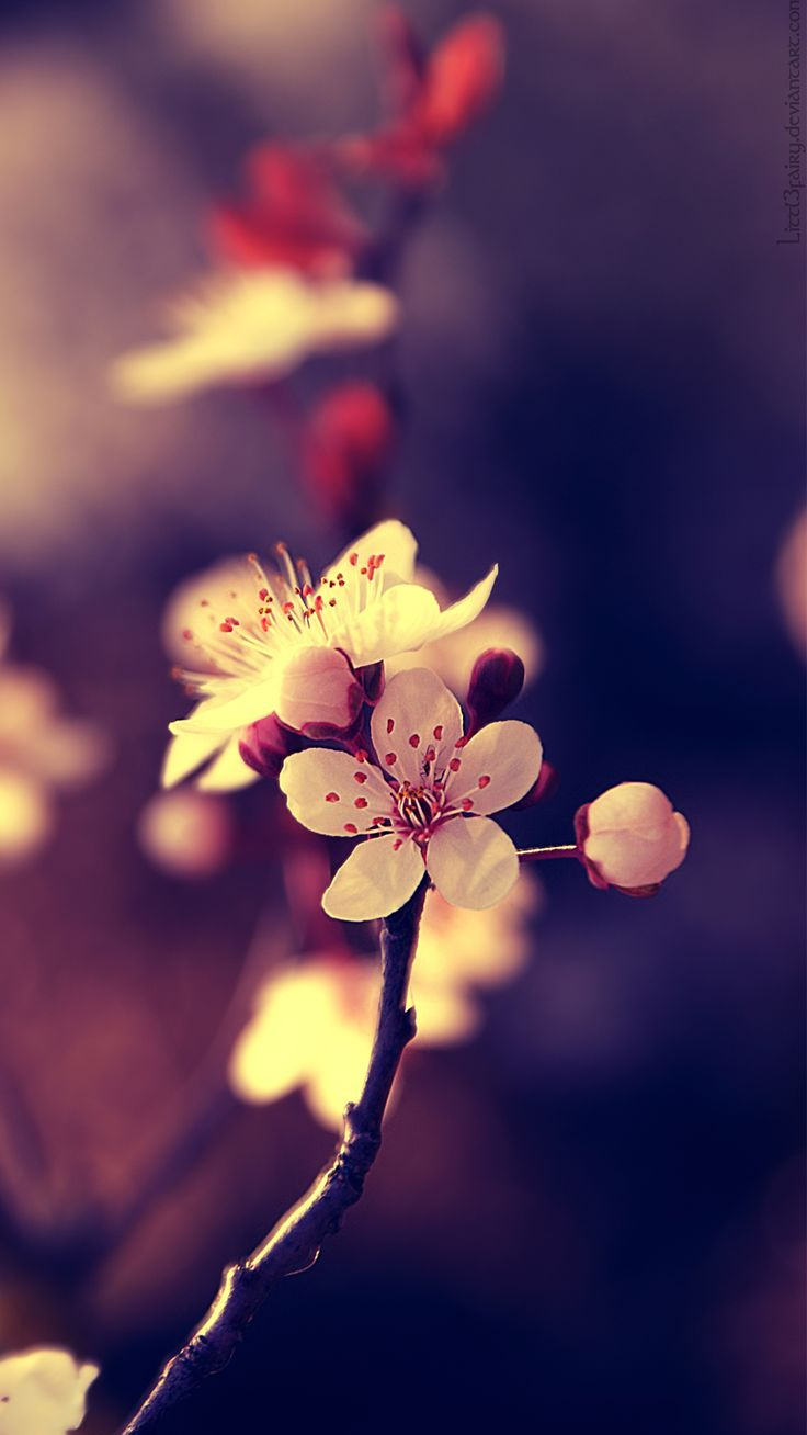 Cherry blossom white flowers branch close up hd wallpaper zoomwalls - Http Www Vactualpapers Com Gallery Beautiful Flowers
