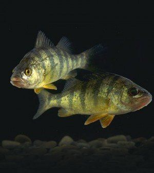 Top 30 ideas about fish on pinterest river fish blue for Lake erie perch fishing hot spots