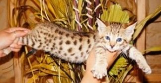 Savannah Cats For Sale | Savannah Kittens For Sale | Savannah Cat Breeders | f1, f2, f3, f4, f5, SBT Savannah Cats