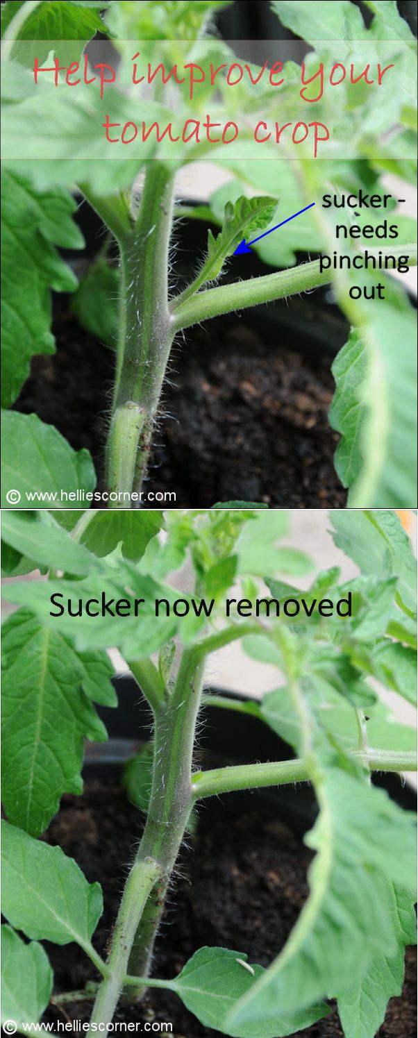 Growing Tomatoes this Summer