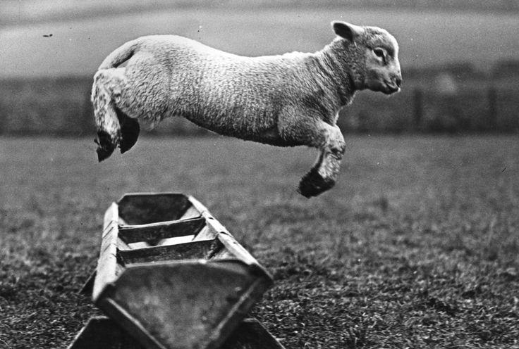 A lamb jumping over a trough, 1950. hahahaEustaquio Kiwi, Animal Lovers, Baby Lambs, Animal Kingdom, Lambs Jumping, Trough, The Farms, 1950, Counting Sheep