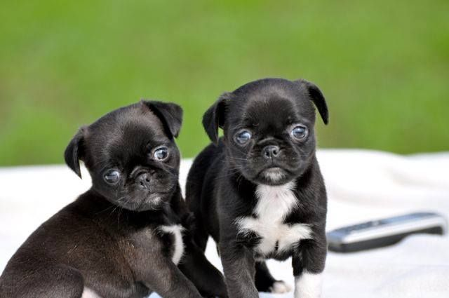 Pug & Chihuahua Chug - My Miley Girl isn't the only one out there!!!! :)