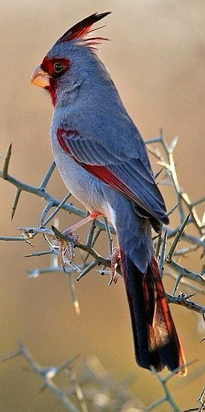 The Pyrrhuloxia or Desert Cardinal (Cardinalis sinuatus) by robbobert is a medium-sized North American song bird found in the American southwest and northern Mexico.