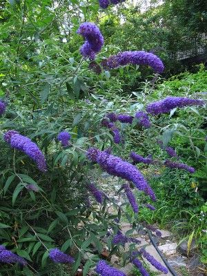 Butterfly Bush Planting. This seems like it'd be nice along the back wall or the base wall near the fence.