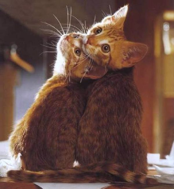 love: Twin, Animal Lovers, Best Friends, Sweets, Animal Humor, Kittens, Funny Animal, Kitty, Cat Lovers