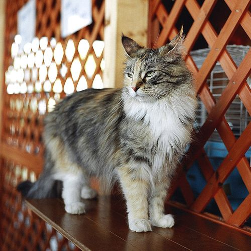 Norwegian forest cat by Haseo