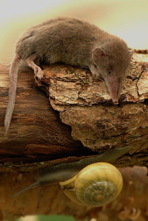Eurasian pygmy shrew and a snail
