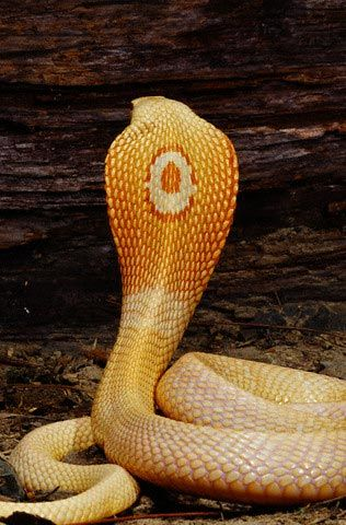 Last night I dreamed about a beautiful cobra that looked just like this one with the majestic hood, golden skin, and striking decoration on its back.