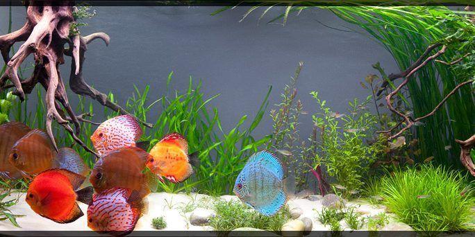 Discus Fish Tank Setup With Images Discus Tank Fish Aquarium