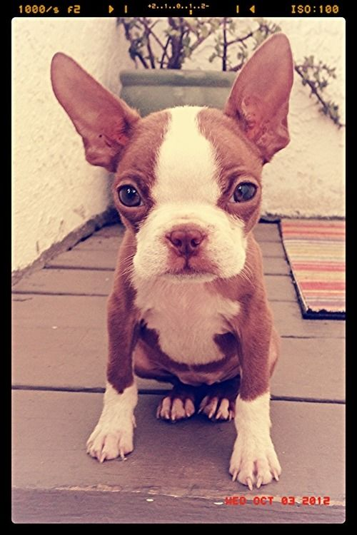 Abby, Boston Terrier  Red Boston Terrier, my next dog..