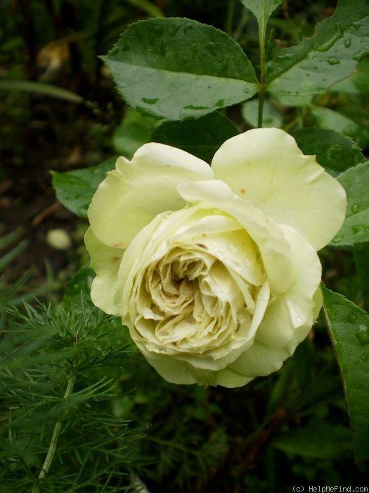 17 best images about roses green on pinterest gardens. Black Bedroom Furniture Sets. Home Design Ideas