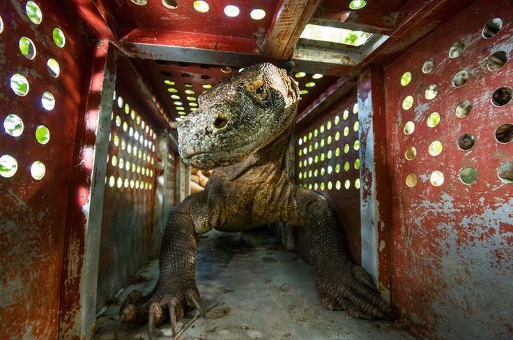 NG - Biólogos capturam o dragão-de-komodo