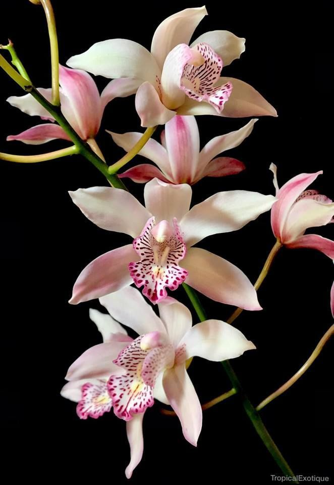 Cymbidium Insignecymbidium Insigne In 2020 Beautiful Orchids Orchid Flower Orchid Photography