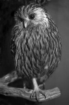 Fiona Pardington LAUGHING OWL  Pinned by www.myowlbarn.com