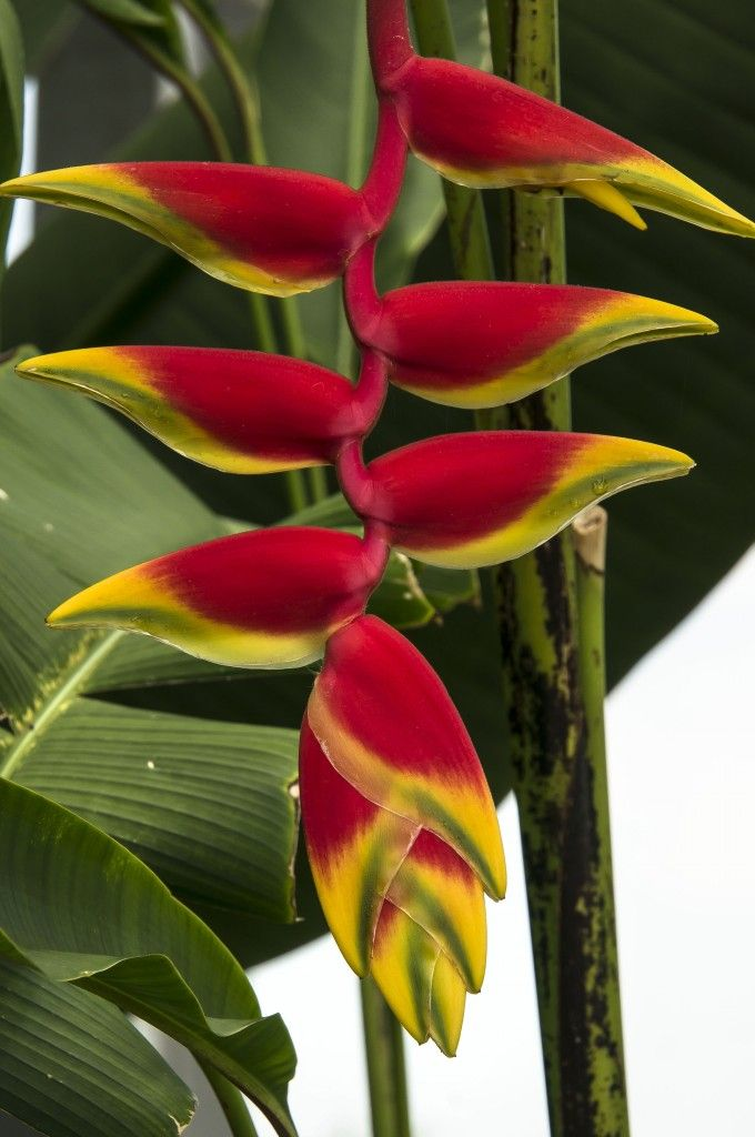 Lobster Claw Flower, Heliconias in the Conservatory at Lewis Ginter Botanical Garden.