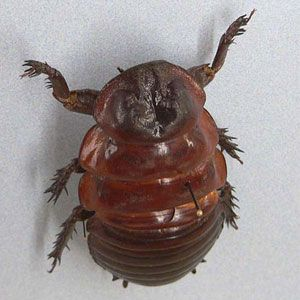 The world's largest insects: this Australian Giant Burrowing Cockroach weight 35 grams!