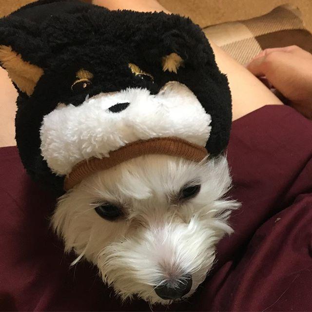 ☆ トリミング前のぴっぴ。 黒柴🐶になりたい...!笑 ☆ #マルチーズ#マルチーズ部#maltese#ぴーちゃん#ぴぴすたぐらむ#愛犬#dog#わんこ#犬バカ部#いぬとの暮らし#可愛い#2歳#黒柴#コスチューム#顔まわりぶかぶか#ダックス用#胴の長さは#ぴったり