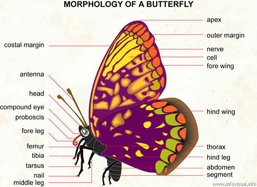 Butterfly Body Parts : Anatomy of butterfly body parts bing images butterflys