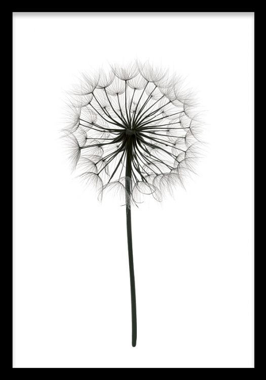 Fin botanisk tavla som passar fint till svart vit inredning  Tavlor  Konst Planscher e Maskrosor