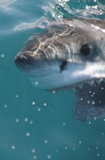 Great White Shark in clear water