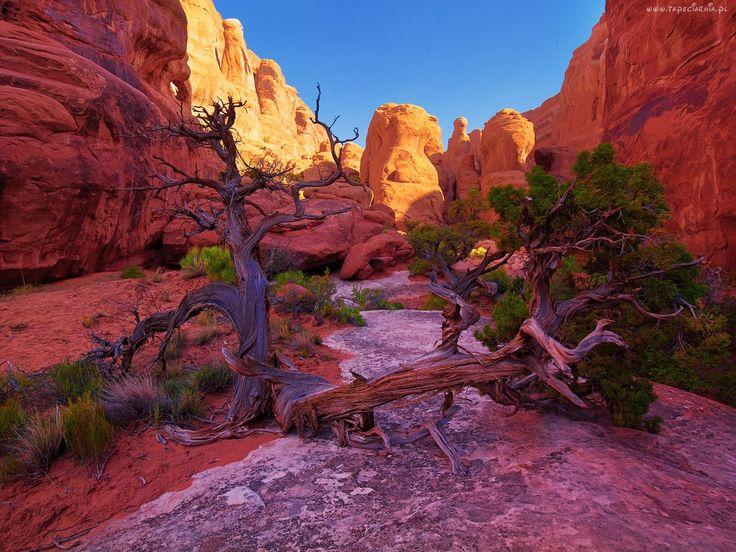 Kanion, Park, Narodowy, Utah, Drzewo