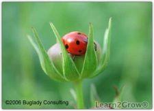 Reasons to not buy ladybugs: Gardening