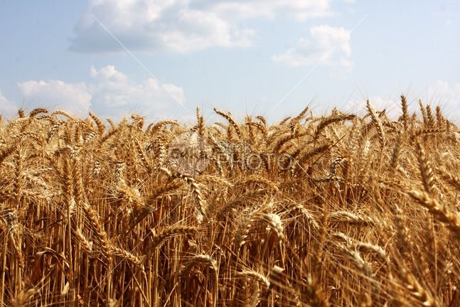 Wheat Field and Blue Sky - 54ka StockPhoto