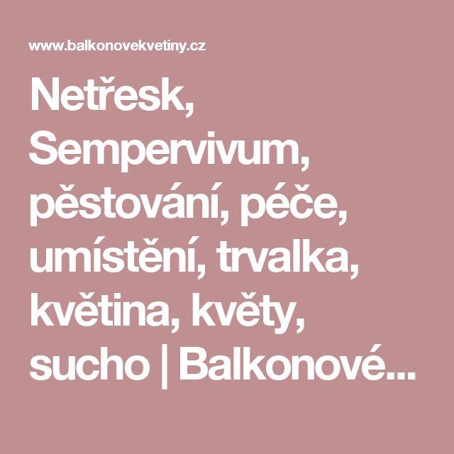 Netřesk, Sempervivum, pěstování, péče, umístění, trvalka, květina, květy, sucho   Balkonové květiny