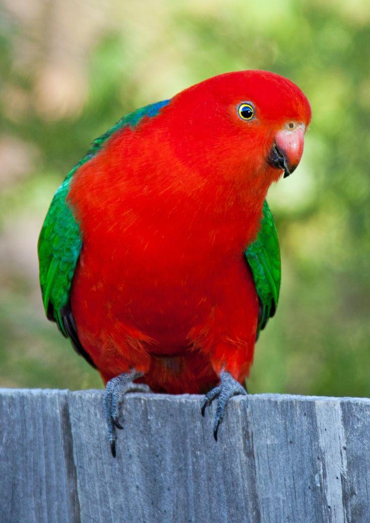 Exotic Birds For Sale >> Close-up portrait of a male Australian King-Parrot. | Australian King Parrot | Parrot, Pet birds ...
