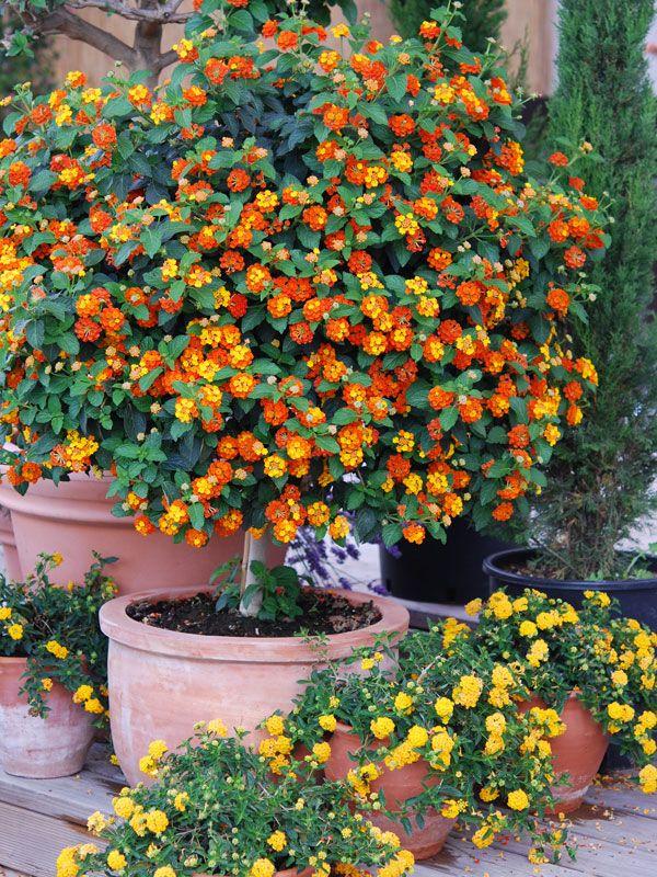 Lantana Tangerine Plant Lantana Camara Sp Plants Lantana Camara Lantana
