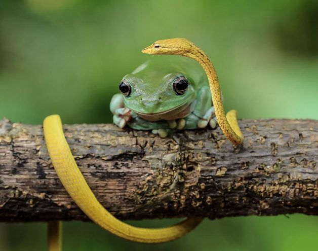The Best Dumpy Tree Frog Ideas On Pinterest Whites Tree Frog - Frog wearing two snails as hat becomes star of hilarious photoshop battle
