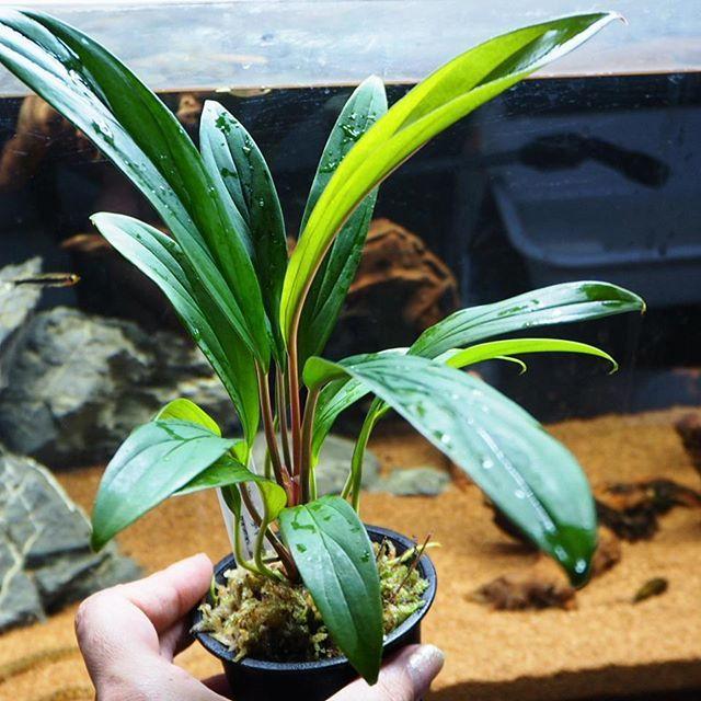 【eri.jungle_plants】さんのInstagramをピンしています。 《* * 【こちらもホマロメナ☆d(´∀`*)】 Homalonena sp. これも気に入ってる♪ * ドジョウを飼いたくて水槽リセットしたけど 寂しいからトゥッカーノテトラ追加しようかなー * #植物 #熱帯雨林植物 #熱帯植物 #ジャングルプランツ #ミストラバー #園芸 #グリーン #ホマロメナ #水槽 #アクアリウム #トゥッカーノテトラ #Aquarium #Homalonena #tropicalfish #plants #plant #green #gardening #botanical #mistlover #jungleplants》
