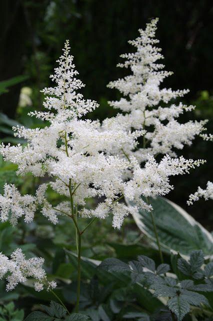 White Astilbe | Gardens in White