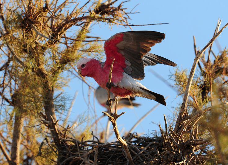 Gillar  www.australianphotos.com.au