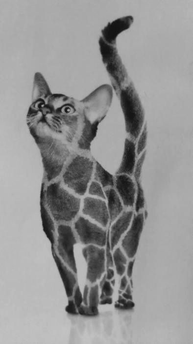 two of my favorite things - Giraffe Cat